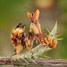 Creobroter pictipennis