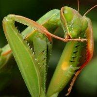 Mantis religiosa - modliszka zwyczajna