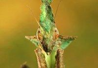 Phyllocrania paradoxa - modliszka liściogłowa