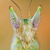 Pseudoharpax virescens