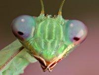 Sphodromantis gastrica - modliszka gwinejska